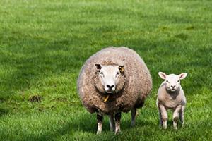 schaap met haar lam
