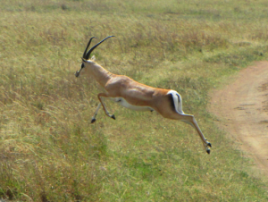 ecare gazelle